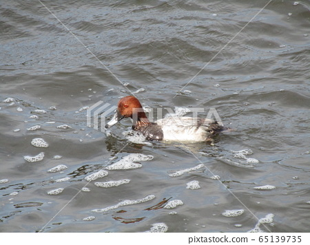 A brown-headed duck dives 65139735