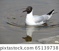Black headed black-headed gull 65139738