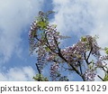 Purple wisteria flowers in full bloom soon 65141029