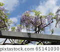 Purple wisteria flowers in full bloom soon 65141030