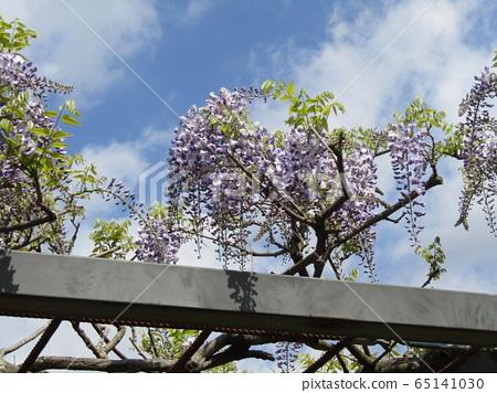 Purple wisteria flowers in full bloom soon 65141030