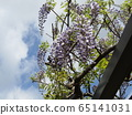 Purple wisteria flowers in full bloom soon 65141031