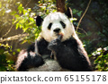 Oil painting of giant panda bear in China 65155178