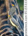 Two yellow-billed oxpecker standing on Masai 65155333