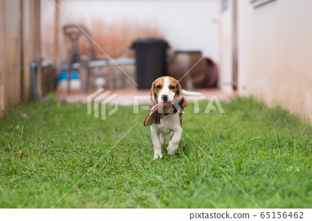 cute puppy beable runing at the lawn with shoes 65156462
