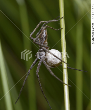 Nursery web spider guarding its nest, holding a cocoon in paws 65158360