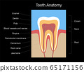 Tooth anatomy, medical labeled cross section chart with enamel, dentin, pulp, gingiva, blood vessels and nerves. Isolated vector illustration on black background.  65171156