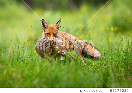Cruel red fox holding caught hare in mouth and facing camera in green grass. 65172086