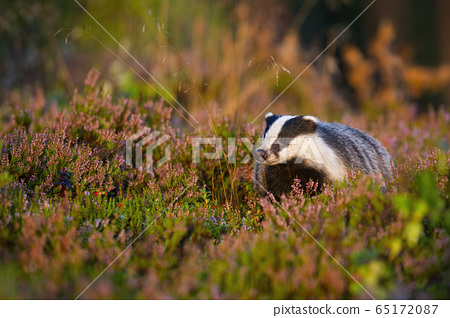 Appealing european badger looking in summer nature with head held up 65172087