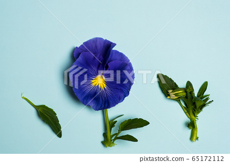 Viola violet flower in blossom arrangement with 65172112