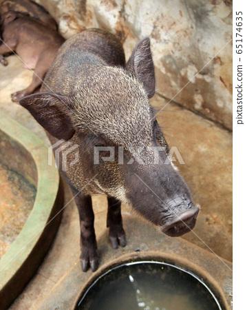 wild boar 65174635