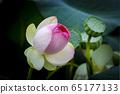 蓮花盛宴 65177133