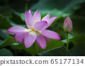 蓮花盛宴 65177134