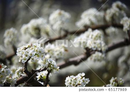 春天果園農場梨花 65177989