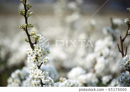 봄,과수원농장,배꽃 65178000