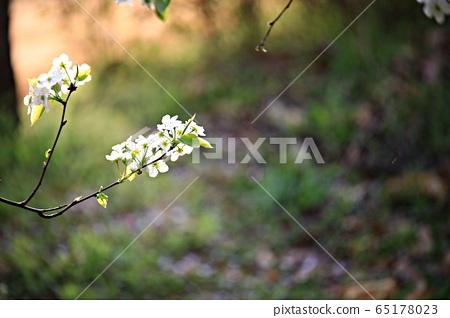 봄,과수원농장,배꽃 65178023