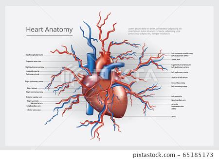 Heart Anatomy Vector Illustration 65185173