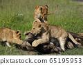 獅子的孩子 65195953