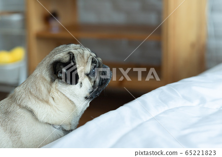 Asian young woman playing with her pet and smile with dog pug breed looking in funny face in bedroom 65221823