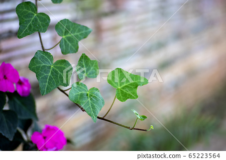 Photo of ivy leaf in the garden 65223564