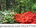 pine tree forest with royal azalea 65247749