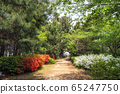pine tree forest with royal azalea 65247750