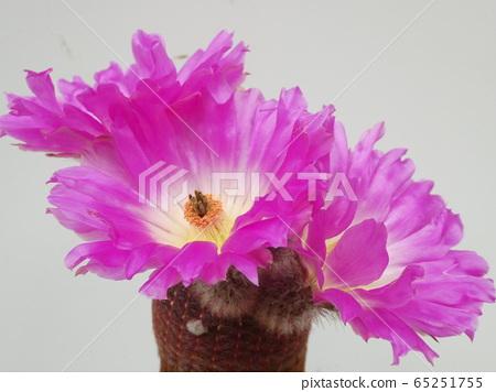 From the side of the purple sun / Echinokereus flower 65251755