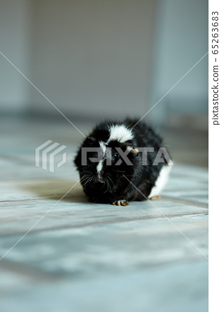 Portrait of black guinea pig or cavy indoors. 65263683