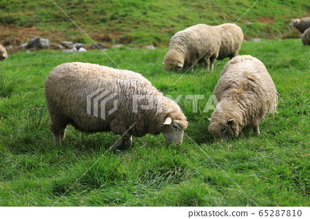 羊在綠色的草原上 65287810