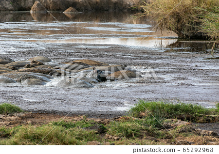 在坦桑尼亞的塞倫蓋蒂河中看到的一大群河馬的背面 65292968