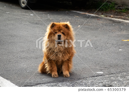 chow chow dog stand and wait 65300379
