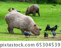 Capybara Grazing In Meadow With Birds 65304539