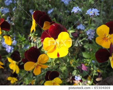 꽃 팬지 65304869