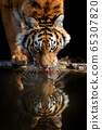 Tiger male drinking water 65307820