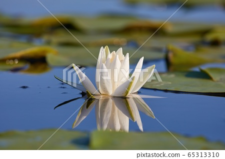 White Water Lily 65313310