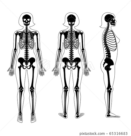 Woman skeleton anatomy 65316683