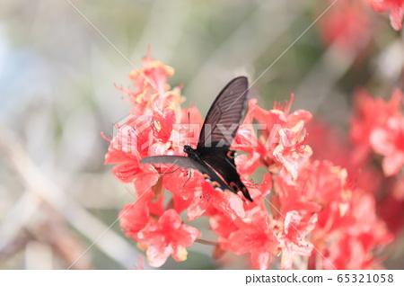 긴꼬리제비나비와 빨간 철쭉꽃 65321058
