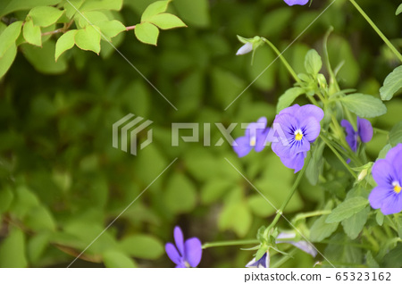 Light purple viola 65323162