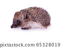 Cute wild European Hedgehog Isolated on White Background. 65328019
