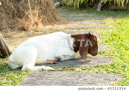 Goats are sleeping on the pavement in the grass. 65331354