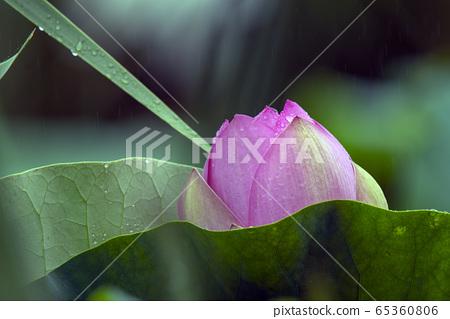연꽃에 비가 내리다 65360806