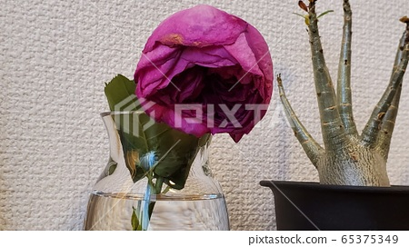 Withered rose 65375349