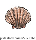 Sea shell Scallop. Color engraving vintage illustration. Isolated on white background. 65377161