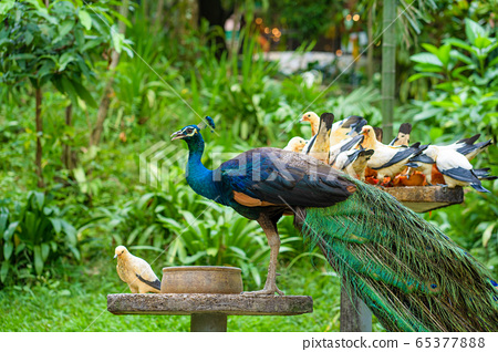 Peacock and pigeons eat from a bird feeder in a 65377888