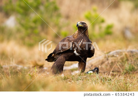 Dominant adult golden eagle inspecting environment with interested look. 65384243