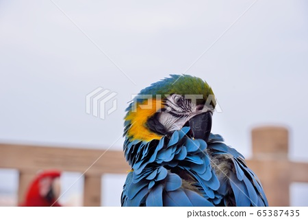 色彩鮮豔 鸚鵡(Ara ararauna)在台灣海邊。 65387435