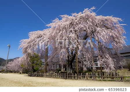 Kihara School, the cherry blossoms of the former Yamamoto Junior High School 65396023