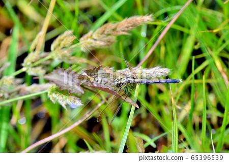 呂宋蜻蜓(Orthetrum luzonicum) 65396539