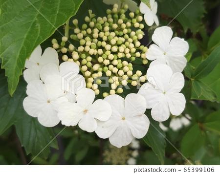 만개한 하얀색 양백당나무꽃 65399106