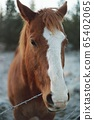 Closeup of Sorrel Horse Head with White Stripe on Face, Selective Focus 65402065